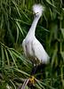 Snowy Egret 1529