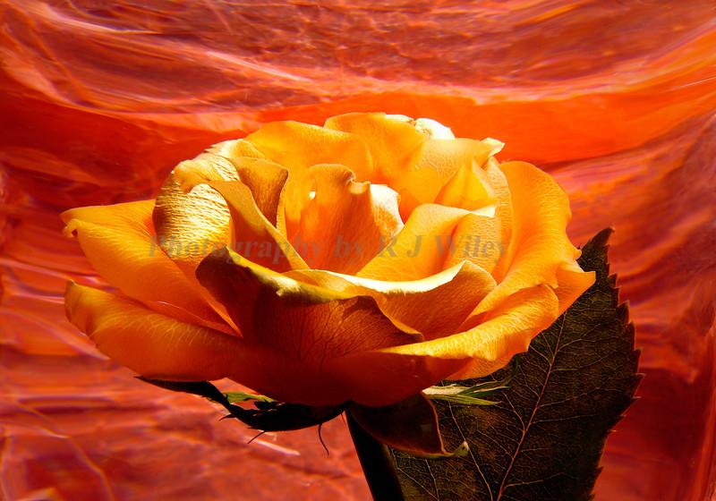 Rose 5177