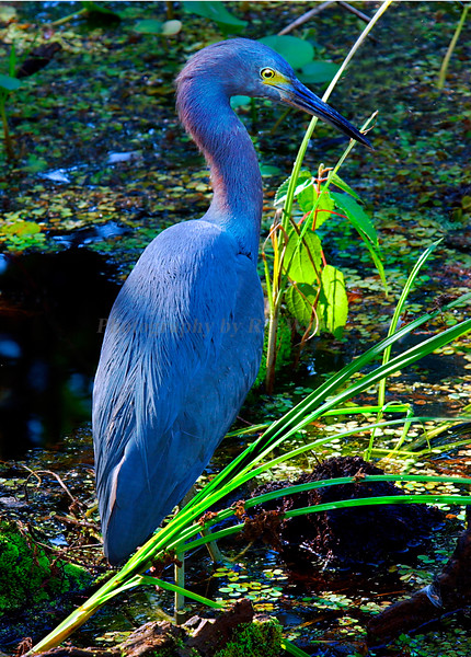 Little blue Heron 7104