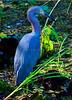 Little blue Heron 7104