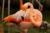 Flamingo8545