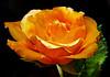 Rose 5144