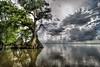Cypress trees Lake Istokpoga 413