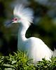 Snowy Egret 4227