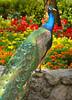 Peacock 5085