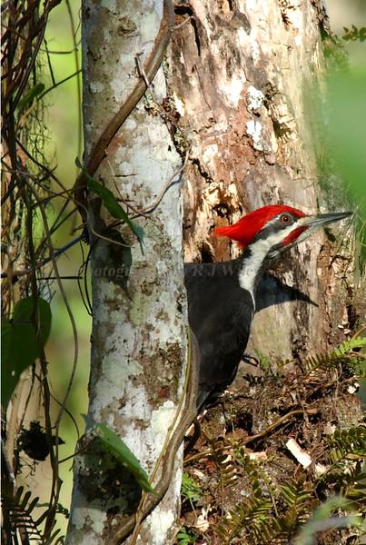 Pileated woodpecker 4405