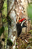 Pileated woodpecker 4405