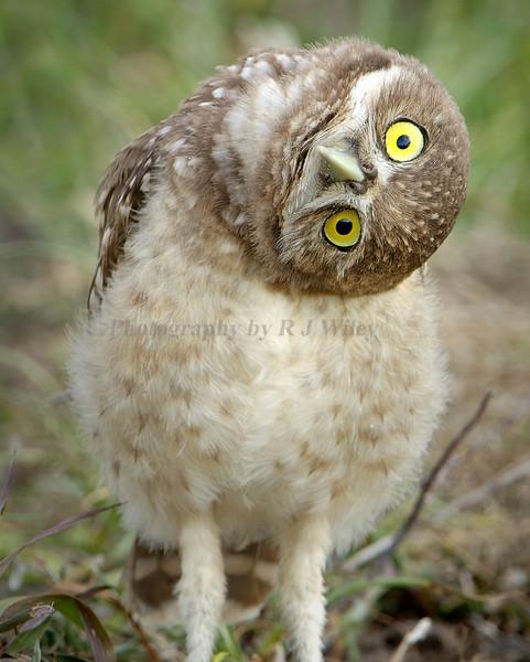 Burrowing Owls  6039