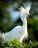 Snowy Egret 4212
