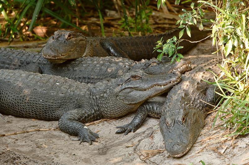 Gators 5050
