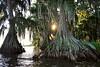 Cypress trees Lake Istokpoga 874