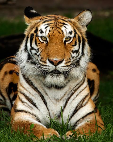 Tiger8151