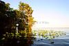 Cypress trees Lake Istokpoga 793