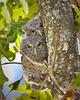 Screech Owl baby946