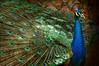 Peacock 5292