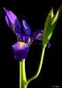 Iris3996