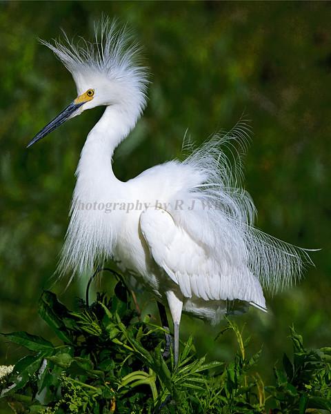 Snowy Egret 3843