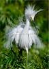 Snowy Egret 3854