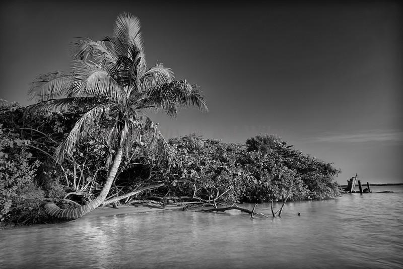 Palm at BowDitch 3716 bw