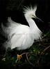 Snowy Egrets 7532 a