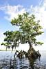 Cypress trees Lake Istokpoga 1278