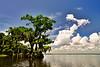 Cypress trees Lake Istokpoga 373
