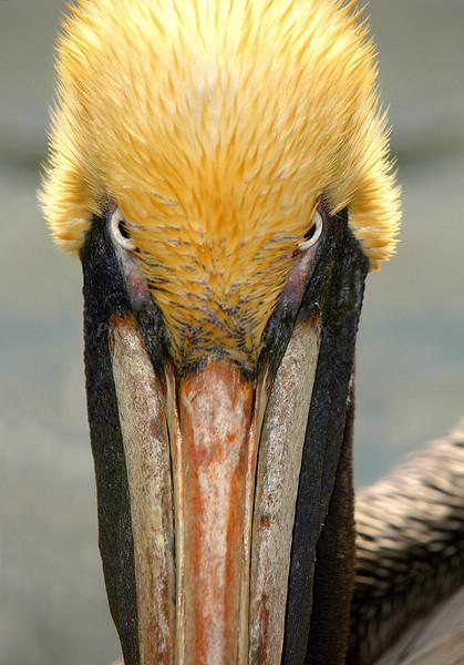 Mad Pelican 861