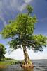 Cypress trees Lake Istokpoga 1969