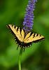 Tiger Swallowtail 1779