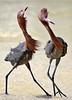 Reddish Egret 7632