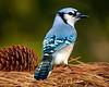 Blue Jay 1964