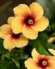 Hibiscus 2172RJWiley