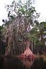 Cypress trees Lake Istokpoga 2539