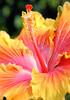 Hibiscus191
