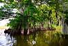 Cypress trees Lake Istokpoga 2097