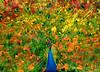 Peacock 5234 dm