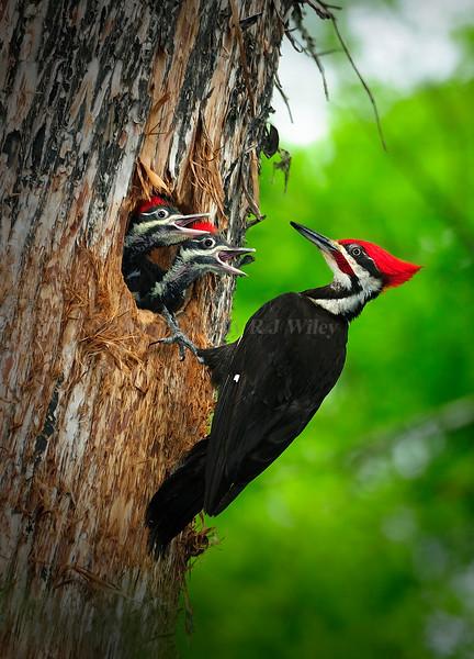 Pileated Woodpecker chicks 8754