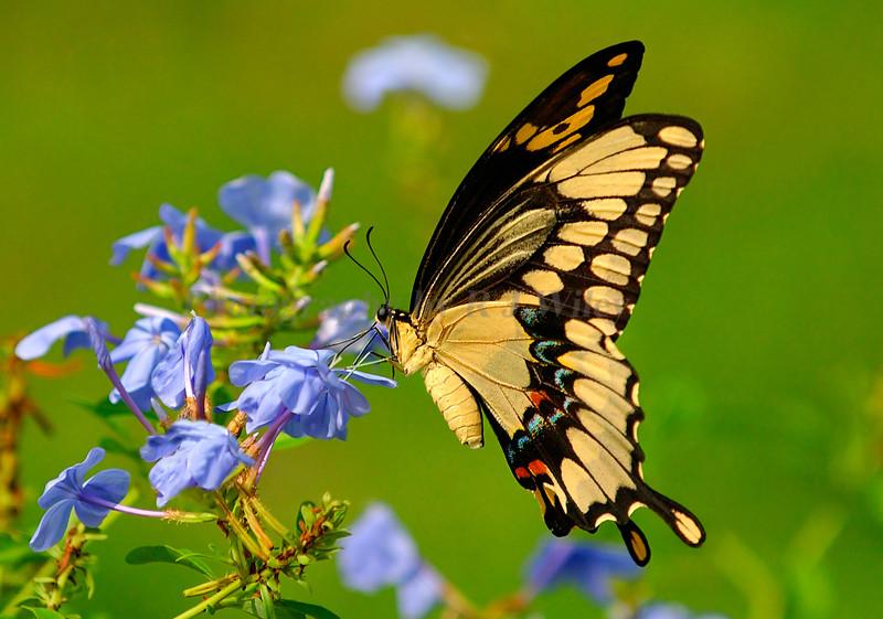 Giant Swallowtail  6872