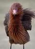 Reddish Egret 7806