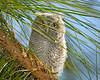 Screech Owl baby1143