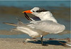 Royal Tern 4988