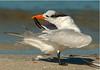 Royal Tern 4988