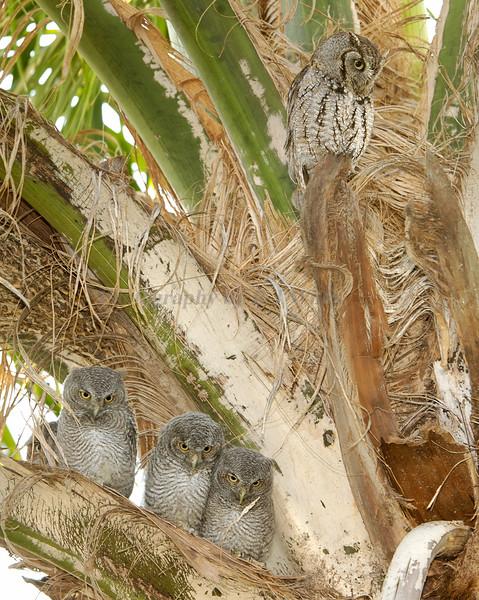 Screech owl babies 1482
