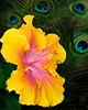 Hibiscus 2841