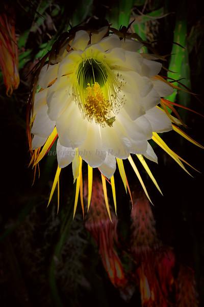 Night blooming flower 587