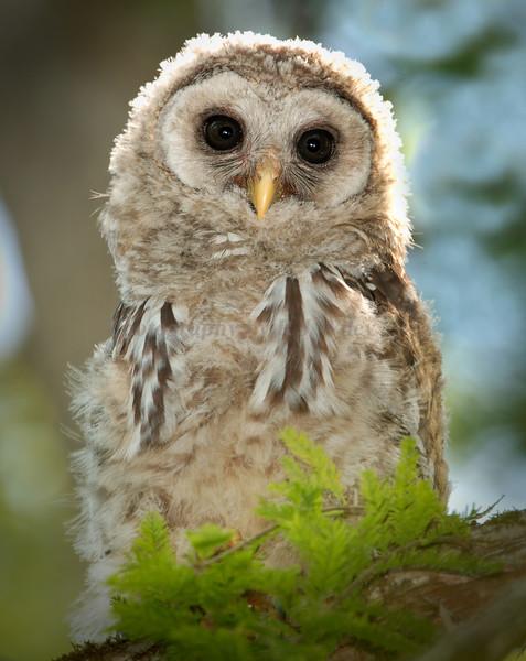 Barred owl baby 470