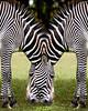 Zebra DM