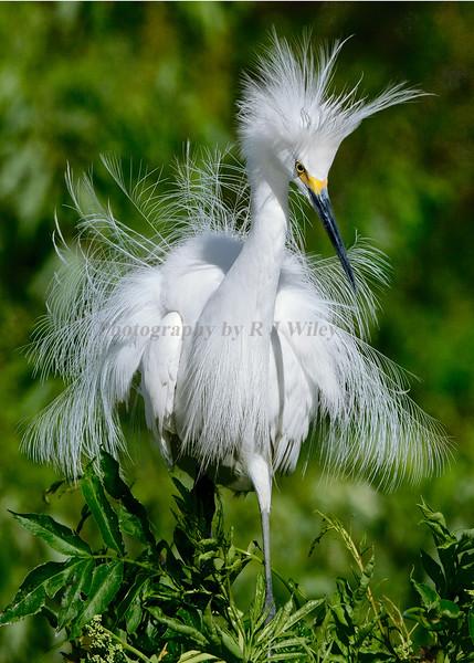 Snowy Egret 3845