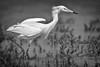 Reddish Egret morph 6422 BW