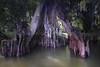 Cypress trees Lake Istokpoga 1995
